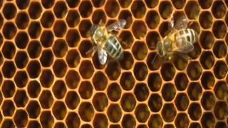 Abeilles  du bétail à miel dans les enclos des colonies humaines02