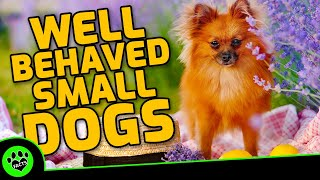Top 10 Most Well Behaved Small Dog Breeds  TopTenz