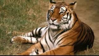 Tygrys Bengalski - omówienie