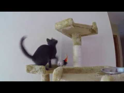 Funny Russian Blue Kitty - Funny Cat Compilation