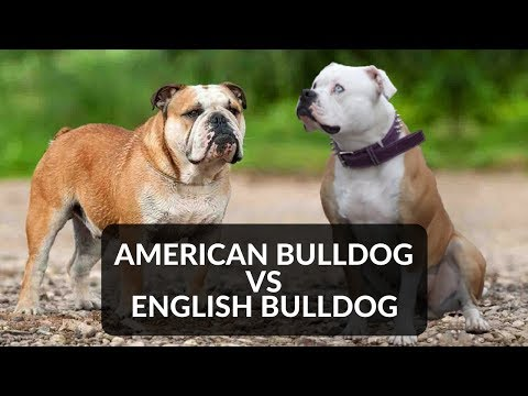 ENGLISH BULLDOG vs AMERICAN BULLDOG