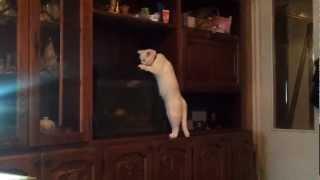 Кошка пьет из аквариума
