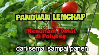 Cara Dan Panduan Lengkap Menanam Tomat Di Polybag Dari Semai Sampai Panen