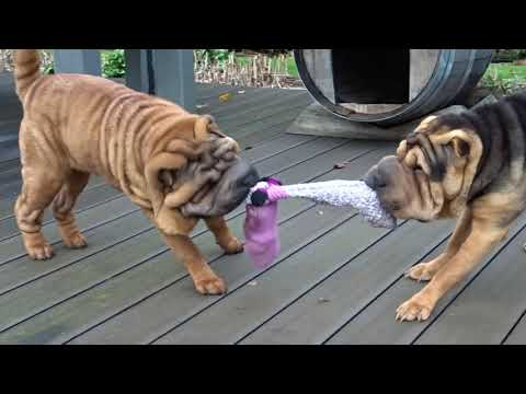 Sharpei Game With Their Favorite Toy, My Socks Of Course :-)