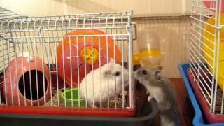 Хомячки танцуют Тарантеллу (Hamsters & Tarantella)