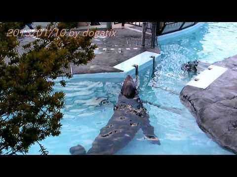 "Japan Trip 2013 Tokyo ""Ueno Zoo"" Eared seal 20"