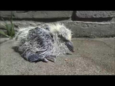 eine junge taube ist aus dem nest gefallen und nun v llig. Black Bedroom Furniture Sets. Home Design Ideas