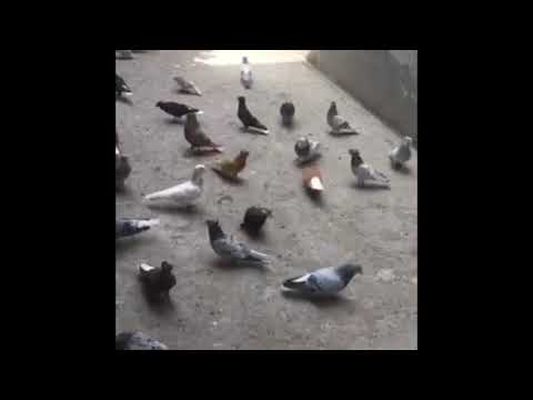 Армянские белохвостые голуби
