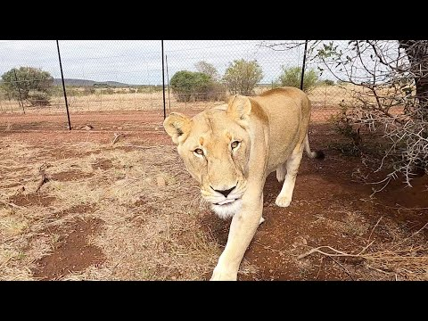 Lion Extinction, Lion's Life and Mating with #AskMeg   The Lion Whisperer