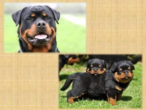 Top 10 Most Dangerous Dog Breeds Based On Their Fatalities
