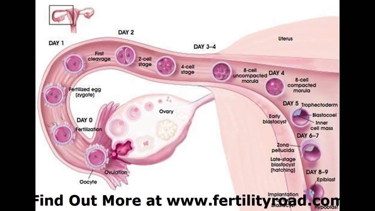 Blastocyst Transfer Implantation Symptoms Fertility Road Magazine