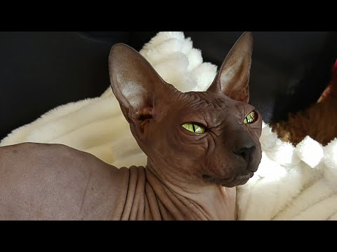 """The beauty of sphynx cat / """"Chikita"""" / DonSphynx /"""