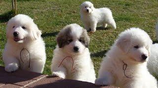 Нам полтора месяца! Щенки пиренейской горной собаки.