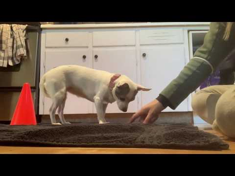 Sooky Intermédiaire Trick Dog