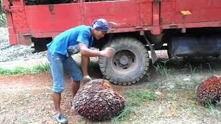 biarpun baru belajar tp dia sudah menguasai tehnik angkat buah sawit saluuut