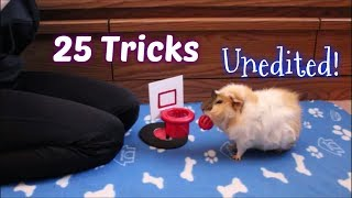 25 Guinea Pig Tricks All At Once (Unedited!)