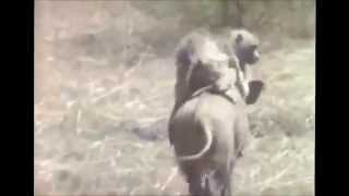 обезьяны верхом на диком кабане, улётное видео снятое в Африке