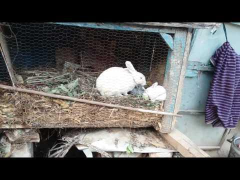 Rabbit in Rolpa Nepal