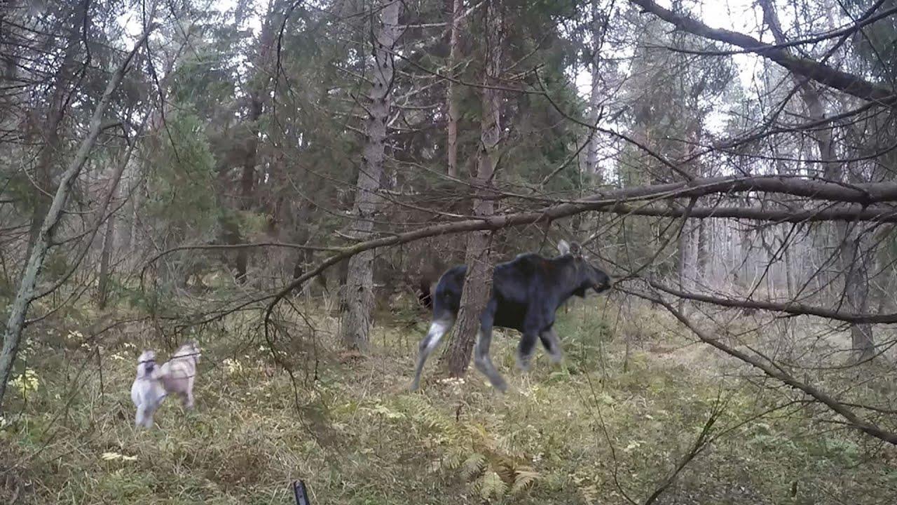Охота #52 охота на лося, домашние козы, лосиха