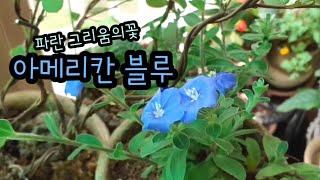 아메리칸 블루꽃/6월9일 베란다정원