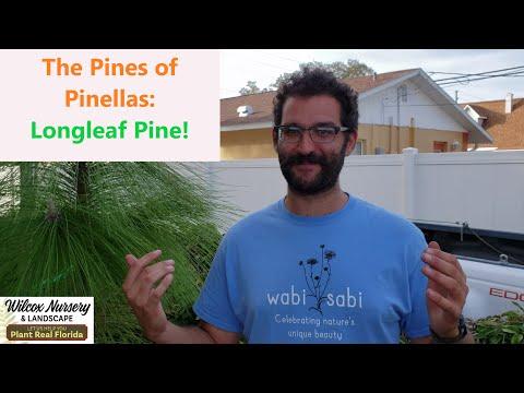Florida Native Plants: Longleaf Pine