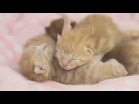 小奶貓出生第8天,陸陸續續睜眼,對世界充滿好奇,迷迷糊糊真可愛