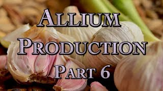 Allium Production Part 6