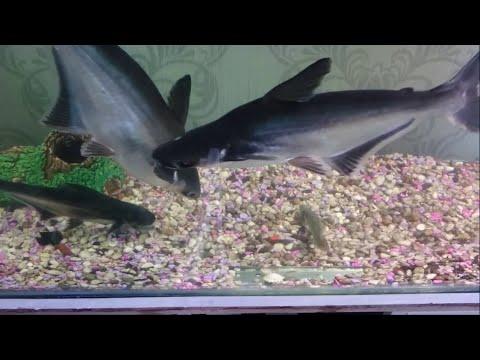 Dev Pengasus Köpek Balıkları Yemleniyor Youtube