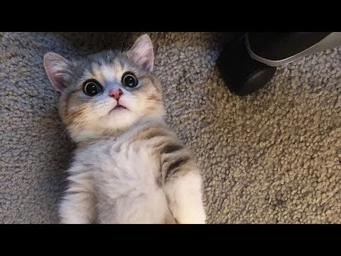 This Munchkin Kitten Will Melt Your Heart With Playfulness