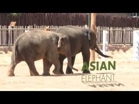 Thumbnail: All About Asian Elephants!