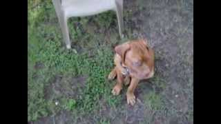 French Mastiff Pups Dogue De Bordeaux