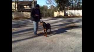 Shaq The Rottweiler Trained In Advanced Obedience. Master Christian Dog Training Atlanta