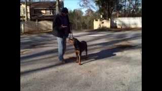 Shaq The Rottweiler Trained In Advanced Obedience. Master Christian Dog Training Atlanta