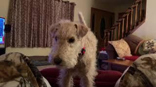 Ruby, Lakeland Terrier!