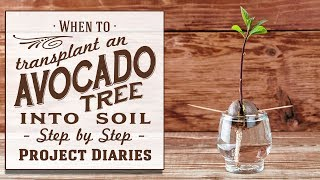 ★ When to: Transplant an Avocado Tree into Soil or Pot on in a Container (An Update & More Info)