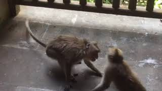 Две обезьяны играют (бали), ненасытные, в мире животных, предки людей, приматы, драка обезьян