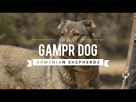 GAMPR DOG THE ARMENIAN SHEPHERD