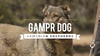 GAMPR DOG THE ARMENIAN LIVE STOCK GUARDIAN DOG