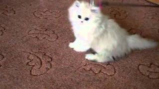Персидские шиншиллы, котята, питомник Snow Dream