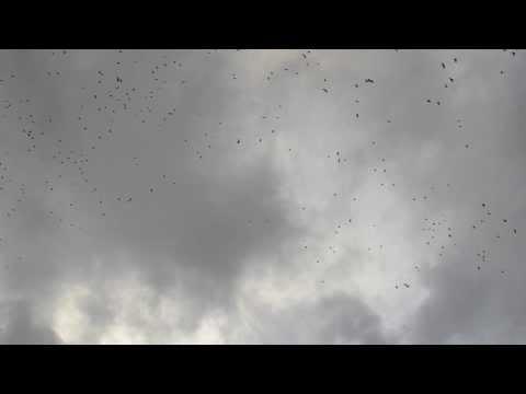 "Flock of Crows AKA a ""murder of crows"" - Zwerm Kraaien"
