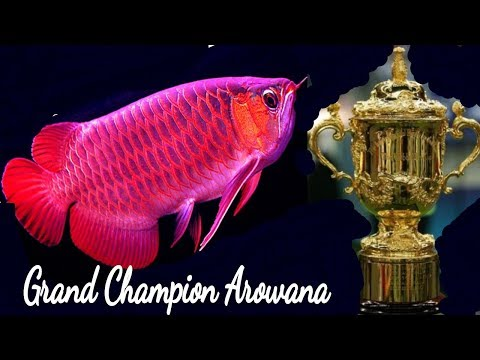 Most Beautiful & Expensive Arowana Fish care | Common Disease & Treatment