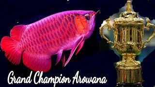 Most Beautiful & Expensive Arowana Fish care | Common Disease & Treatment
