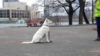 Артас БШО 4,5мес.  Дрессировка щенка. Белая швейцарская овчарка.