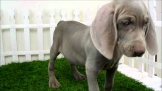 Puppies For Sale San Diego Puppy Weimaraner For Sale In San Diego