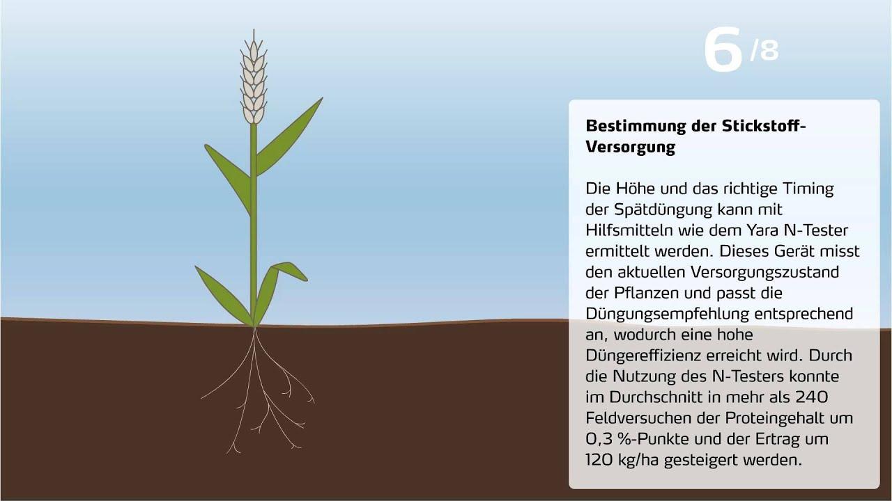 Download Steigerung des Proteingehalts von Weizen