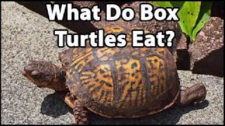What Do Box Turtles Eat?
