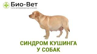 Синдром Кушинга у собак. Ветеринарная клиника Био-Вет.
