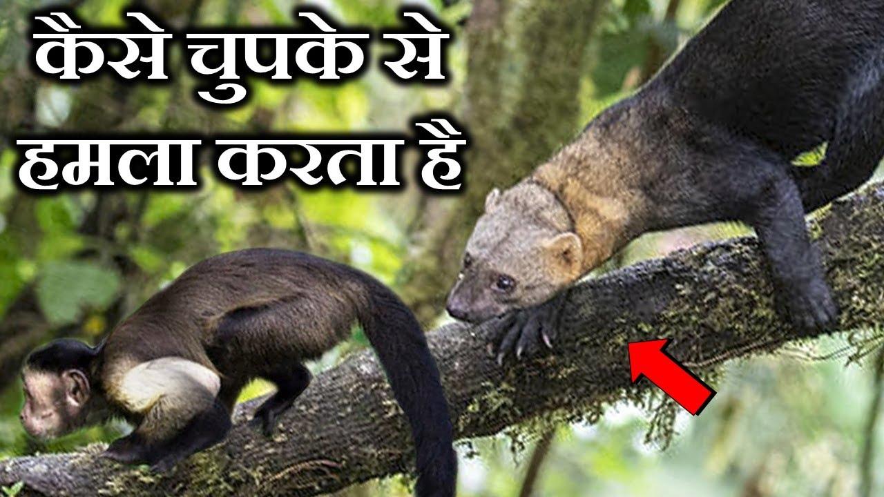 TAYRA जानवर इतने खतरनाक क्यों होते हैं ? WHY ARE TAYRA ANIMALS SO DANGEROUS ?