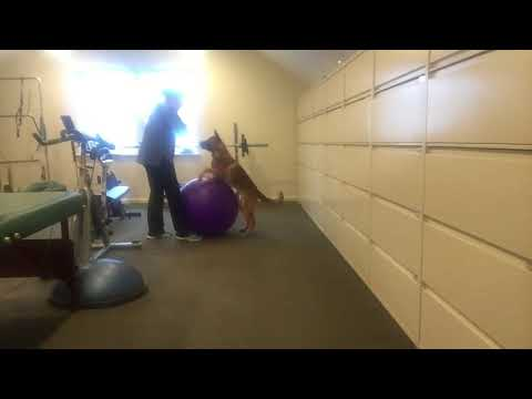 Circus Dog Ball Training 2 with Jack the Shepinois 6 Months Old