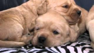 Labrador Retriever Welpen In Lichtenau